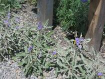 Silverleaf Nightshade, Solanum elaeagnifolium - NM 14 S from Santa Fe to Madrid
