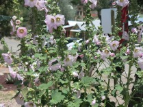 Hollyhocks can be seen in many gardens around Santa Fe...