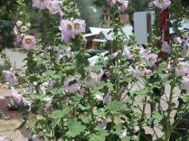 Hollyhocks can be seen in many gardens around Santa Fe...