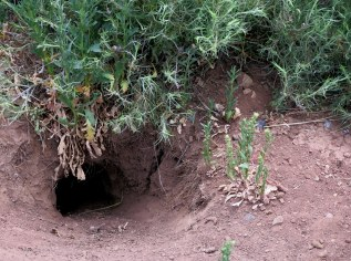 Prairie dog burrow... You have to watch where you step when walking around. Prairie dogs are all over! - Eagles Nest, NM