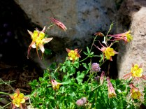 Red Columbine, Aquilegia desertorum - Angel Fire, NM