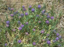 American Vetch, Vicia americana - roadside, NM 64 near Angel Fire
