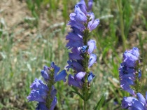 Tall Penstemon, Penstemon unilateralis - roadside, NM Hwy 64 W to Taos