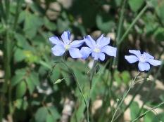 Western Blue Flax, Linum lewisii - Taos Ski Valley