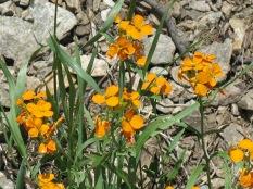 Western Wallflower, Taos Ski Valley