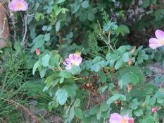 Wild Roses, Taos Ski Valley