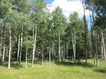 many large groves of aspen trees...