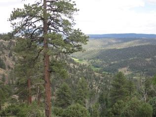 Some tall Ponderosa Pine Trees...
