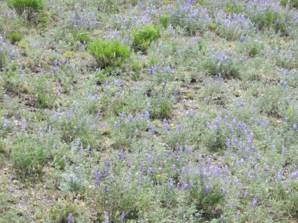 hillsides carpeted with Silvery Lupines