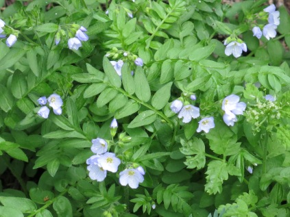 Jacob's Ladder (Polemonium pulcherrimum) - Continental Divide Trail, near Wolf Creek Pass