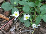 Wild Strawberries Fragaria virginiana) - Continental Divide Trail, near Wolf Creek Pass