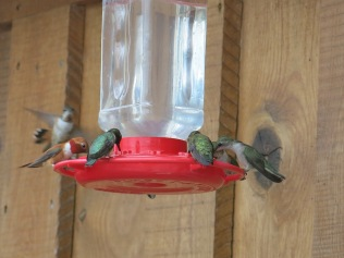 So many kinds of hummingbirds out here, and they don't fight like the Ruby Throats back home. They just drink nectar together...