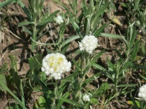 Pearly Everlasting? (Anaphalis margaritacea), FS 631