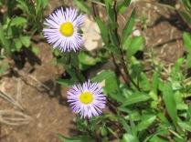 Aspen Fleabane (Erigeron speciosus) - FS 631 Mosco Road
