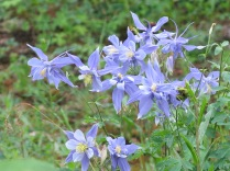 Colorado Blue Columbine - FS 631 Mosco Road