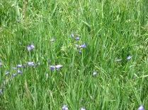 Harebell (Campanula rotundifolia) - FS 631 Mosco Road