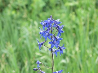 Two-Lobe Larkspur (Delphinium nuttallianum) 0 FS 631 Mosco Road