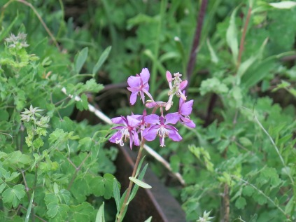 Fireweed (Chamerion (Epilobium)