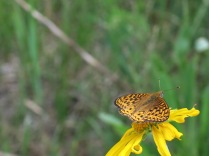 unidentified butterfly on Orange Sneezeweed, FS 631 Mosco Road