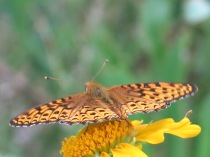 unidentified butterfly on Orange Sneezeweed, FS 631 Mosco Road