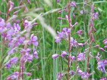 Fireweed (Chamerion (Epilobium) angustifolium) - Evening Primrose family - FS 631 Mosco Road