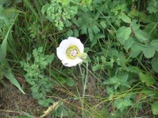 Gunnison's Maripose Lily (Calochortus gunnisonii) - FS 631 Mosco Road