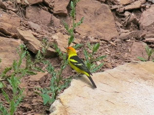 Western Tanager, FS 631 Mosco Road