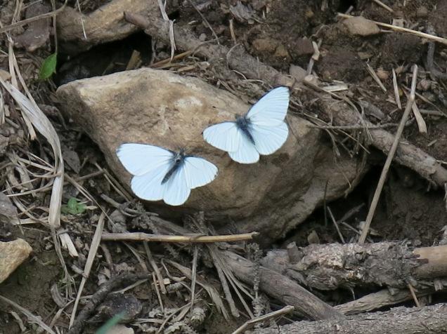 unidentified butterfly - FS 631 Mosco Road