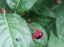 Twinberry Honeysuckle or Bush Honeysuckle (Lonicera (Distegia) involucrata) - FS 631 Mosco Road