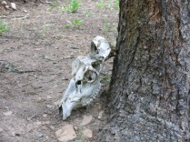Elk Skull? - FS 631 Mosco Road