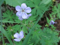 Sticky Purple Geranium (Geranium viscosissimum) - FS 631 Mosco Road