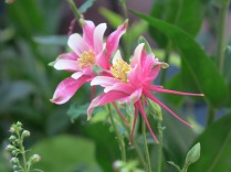 beautiful pink columbine