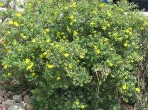 Shrubby Cinquefoil (Potentilla fruticosa ssp. floribunda), outside NAPA Auto Parts in Colorado, Springs