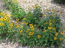 Black Eyed Susans out front... a favorite wildflower