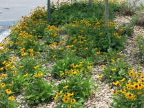 I would love a flower garden with a lot of Black-Eyed Susans...