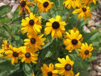 Black-Eyed Susan (Rudbeckia hirta) at the Chickfila! Black-eyed Susans are common in meadows and aspen groves. Blooms: June, July, August. Zones: Foothills, Montane