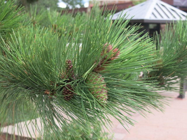 new pine cones growing on Loblolly? Pine Trees... 2 needles per bundle, needles about 3 inches long, but the pine cones threw me off here.  Anybody?!