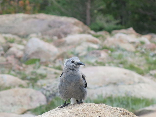 Juvenile Clark's Nutcracker - Rocky Mountain National Park
