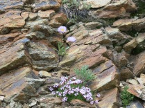 Moss Campion or Cushion Pink (Silene acaulis var. subacaulescens), Blooms: June, July, August. Life zone: Alpine, found in exposed rocky or gravelly areas, one of the most common tundra plants and Alpine Daisy (Erigeron peregrinus) Life zone: subalpine, Blooms: June, July, August. RMNP, Alpine Visitor Center overlook