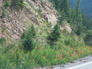 impossible to get a photo through the drivers window from the passenger side of the truck, but you get the idea... the Scarlet Paintbrush were a gorgeous shade of deep rose. One often sees the best wildflower displays when there is absolutely no place to pull over and park for a photo!