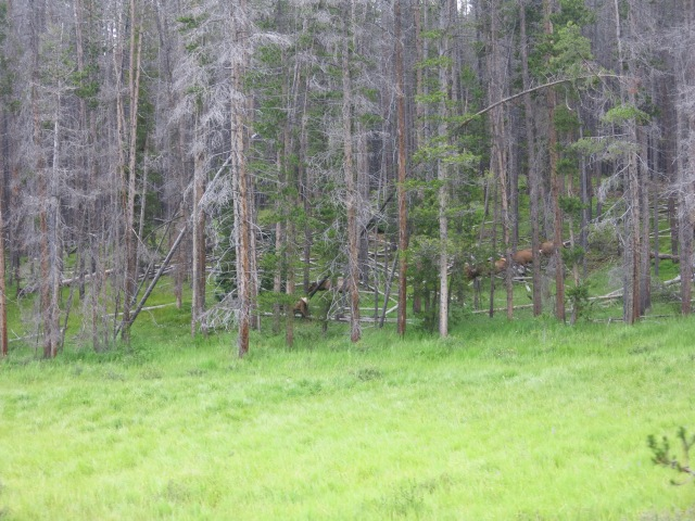 elk near Kawuneeche Valley, along Hwy 34 S - Rocky Mountain NP