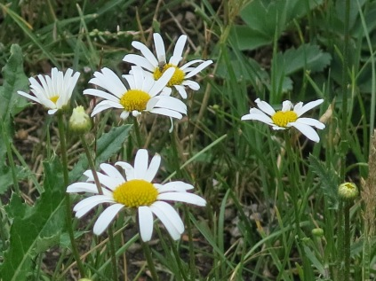 Oxeye Daisy (Leucanthemum vulgare) - non-native - An early introduction from Europe into the eastern U.S. species, now invasive in the Rocky Mountains.