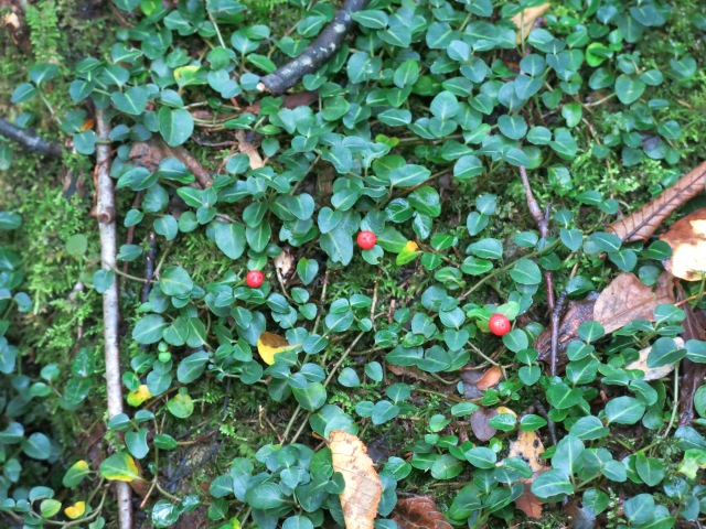 Partridgeberry, (Mitchella repens L.) Greenbrier Road, Great Smoky Mountains National Park