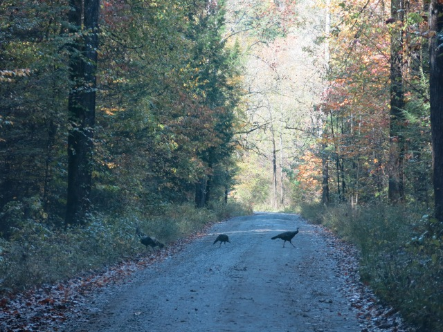 turkeys crossing the road - Greenbrier Road, Great Smoky Mountains National Park