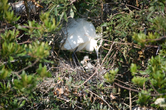 Great Egret and babies in nest