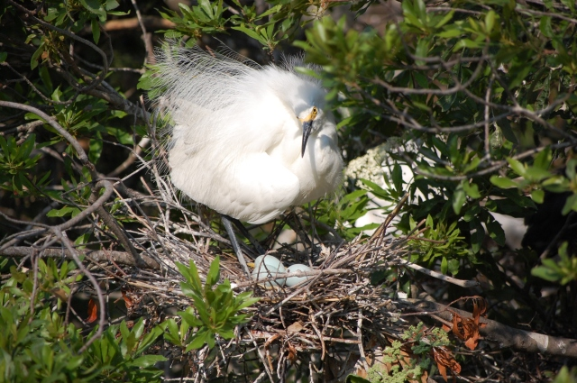 Snowy Egret settling down on her eggs