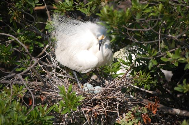 Snowy Egret settling down on her eggs