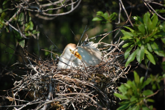 Cattle Egret sitting on her eggs
