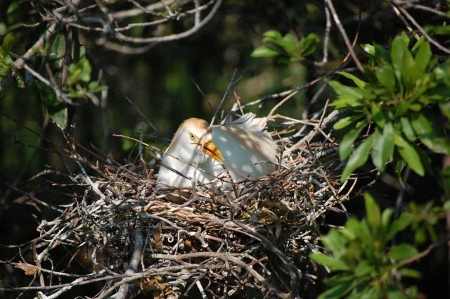 Cattle Egret sitting on her eggs