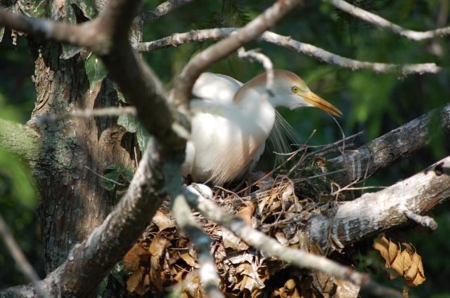 Cattle Egret on eggs